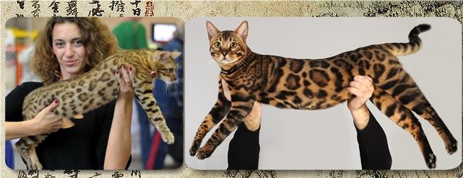 Питомники бенгальских котов