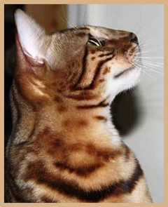 Bengal Type, Profile and Chin