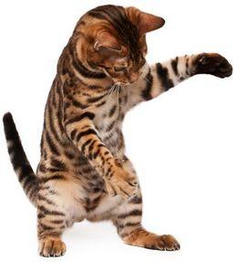 Куплю кота бенгальского котенка